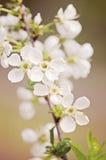 Czereśniowego drzewa kwiaty Obraz Stock