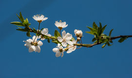 Czereśniowego drzewa kwiaty Zdjęcia Stock