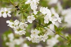 Czereśniowego drzewa kwiaty Obrazy Stock