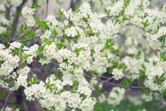 Czereśniowego drzewa kwiaty Fotografia Stock