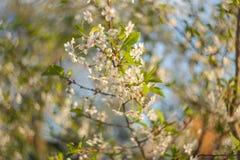 Czereśniowego drzewa kwiecenie w wiośnie Abstrakta zamazany tło z niebieskim niebem Obraz Stock