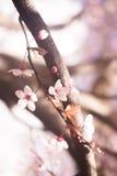 Czereśniowego drzewa okwitnięcia kwiatu gałąź Fotografia Royalty Free