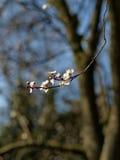 Czereśniowego drzewa okwitnięcie Zdjęcia Royalty Free