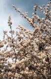 Czereśniowego drzewa okwitnięcie z Chmurzącym niebem w Japonia Zdjęcia Royalty Free