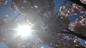 Czereśniowego drzewa tła niebieskiego nieba światła słonecznego kwitnący promienie zbiory