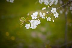 Czereśniowego okwitnięcia biel na zielonym tle Fotografia Stock