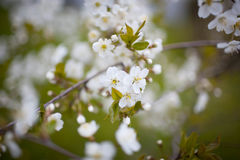 Czereśniowego okwitnięcia biel na zielonym tle Zdjęcie Royalty Free