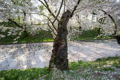Czereśniowego okwitnięcia blizzardHanafubuki i wiśni carpetHanaikada przy zewnętrzną fosą Hirosaki park, Aomori, Tohoku, Japonia Zdjęcie Stock
