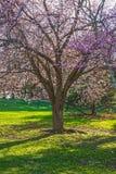 Czereśniowego okwitnięcia cienia drzewo Obraz Stock