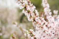 Czereśniowego okwitnięcia drzewa, natura czasu tło Różowi biali Sakura kwiaty obrazy stock