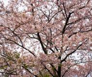 Czereśniowego okwitnięcia drzewo Obraz Stock