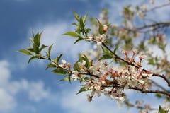 Czereśniowego okwitnięcia drzewo Fotografia Royalty Free