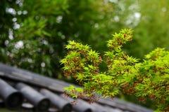 Czereśniowego okwitnięcia drzewo i Japońska herbacianego domu ściana Zdjęcie Royalty Free