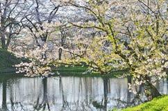Czereśniowego okwitnięcia drzewo w Japonia Zdjęcie Royalty Free