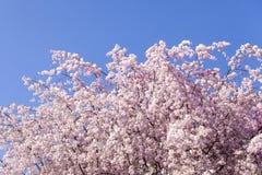 Czereśniowego okwitnięcia drzewo z jasnym niebieskim niebem (Sakura) Zdjęcie Royalty Free