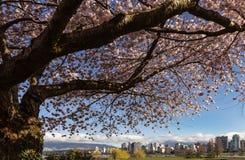 Czereśniowego okwitnięcia drzewo z Vancouver linią horyzontu zdjęcie stock