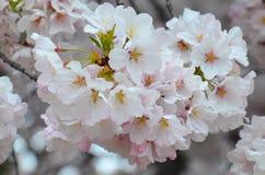 Czereśniowego okwitnięcia grono w Pełnym kwiacie Zdjęcie Stock