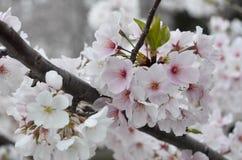 Czereśniowego okwitnięcia grono w Pełnym kwiacie Zdjęcia Stock