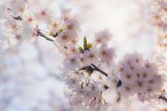 Czereśniowego okwitnięcia kwiat zdjęcia stock