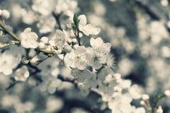 czereśniowego okwitnięcia kwiat Zdjęcia Royalty Free