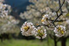 Czereśniowego okwitnięcia kwiat, Hiszpania Zdjęcia Stock