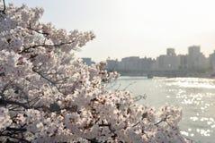 Czereśniowego okwitnięcia kwiat i rzeka na tle Zdjęcia Stock