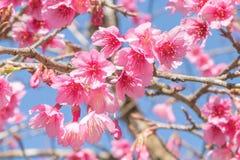 Czereśniowego okwitnięcia kwiat na niebieskim niebie Obraz Stock