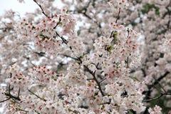Czereśniowego okwitnięcia kwiat w ogródzie Zdjęcia Stock