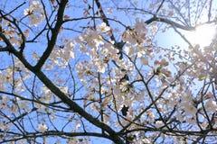 Czereśniowego okwitnięcia kwiat w ogródzie Fotografia Royalty Free