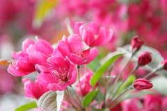 Czereśniowego okwitnięcia kwiat - wiosny Akcyjna fotografia Zdjęcie Royalty Free