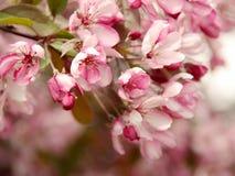 Czereśniowego okwitnięcia kwiat - wiosny Akcyjna fotografia Zdjęcie Stock