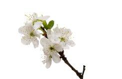 czereśniowego okwitnięcia kwiaty odizolowywający Obrazy Royalty Free