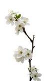 czereśniowego okwitnięcia kwiaty odizolowywający Zdjęcia Royalty Free