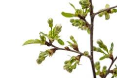 czereśniowego okwitnięcia kwiaty odizolowywający Zdjęcia Stock