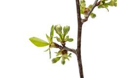 czereśniowego okwitnięcia kwiaty odizolowywający Obraz Stock