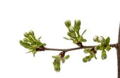 czereśniowego okwitnięcia kwiaty odizolowywający Fotografia Stock