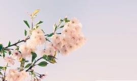 Czereśniowego okwitnięcia lub Sakura kwiat na natury tle obrazy royalty free