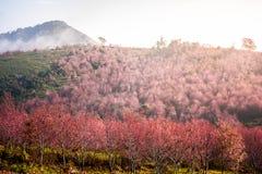 Czereśniowego okwitnięcia menchii Sakura kwiatu phu lom lo Loei Tajlandia zdjęcia stock