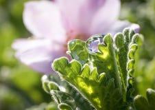 Czereśniowego okwitnięcia refrakcja w wody kropli Fotografia Royalty Free