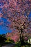 Czereśniowego okwitnięcia Sakura kwiaty Fotografia Royalty Free