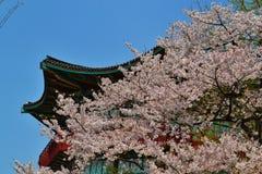 Czereśniowego okwitnięcia sezon z Azjatyckim budynkiem zdjęcie royalty free