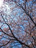 Czereśniowego okwitnięcia sezon z Jasnym niebem zdjęcie stock