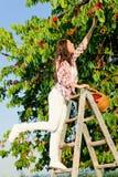 czereśniowego wspinaczki żniwa drabinowa lato drzewa kobieta Zdjęcia Royalty Free