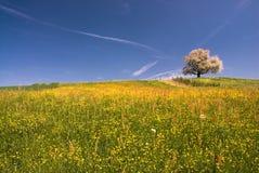 czereśniowego zakwitnąć drzewa fotografia royalty free