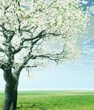 czereśniowego zakwitnąć drzewa Fotografia Stock