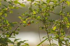 Czereśniowej śliwki owoc Zdjęcie Royalty Free