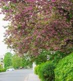 Czereśniowi drzewa w kwiatonośnym okresie na miasto ulicie Zdjęcia Stock