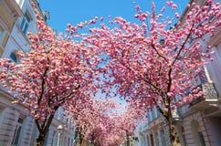 Czereśniowi drzewa w starym miasteczku Bonn, Niemcy obrazy royalty free