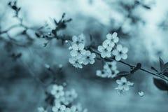 Czereśniowi kwiaty Obrazy Royalty Free
