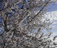 Czereśniowi kwiaty Czereśniowego drzewa kwitnienie Fotografia Royalty Free
